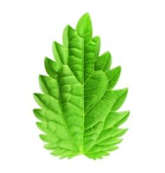 Mint leaf vector image