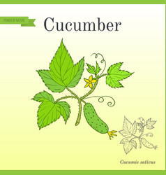 Cucumber with flower and leaves vector