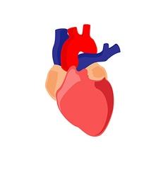 Human heart anatomy vector image vector image
