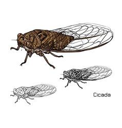 Drawing of cicada vector