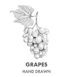 Sketch of grapes cluster with a leaf Hand drawn vector