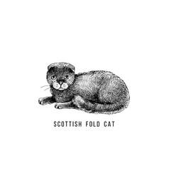 hand drawn scottish fold cat vector image