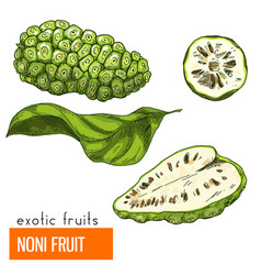 Noni fruit color vector
