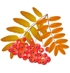 Branch of rowan with fruits vector