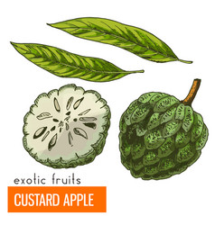 custard apple color vector image
