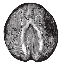 Heart urchin vintage vector