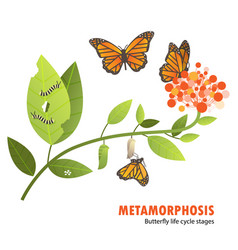 Butterfly life cycle metamorphosis vector