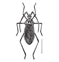 Assassin bug vintage vector