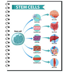 human stem cell applications on a white back vector image