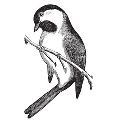 Black capped chickadee vintage vector