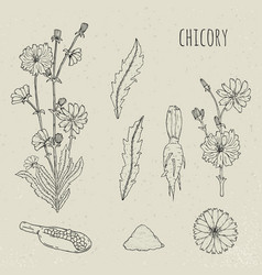 chicory medical botanical isolated vector image
