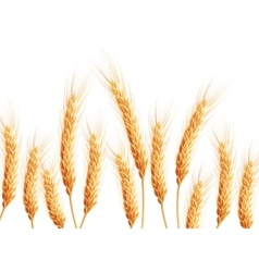 Field of wheat on white EPS 10 vector image