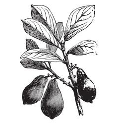 Avocado vintage vector