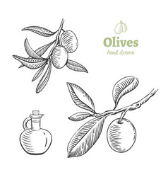 olives hand drawn set vector image