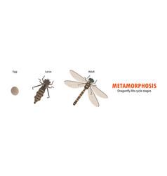 Dragonfly life cycle metamorphosis vector