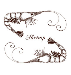 hand drawn engraved ink shrimp or prawn isolated vector image