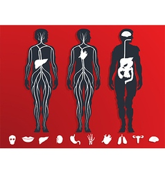 the internal organs vector image