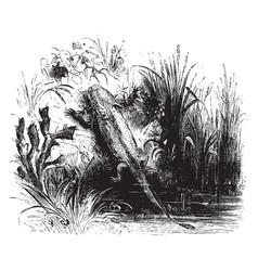 Axolotl vintage vector