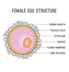 Female egg structure vector