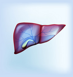 Realistic liver and gallbladder on light blue vector