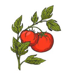 tomato sketch vector image