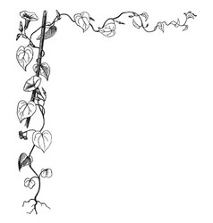 Morning glory have leaves vine in this border vector