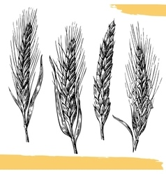 Wheat ears Black and white color Bakery sketch vector