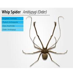 Amblypygi - genus vector