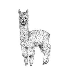 Cute llama alpaca ink sketch hand drawn vector