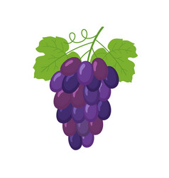 bunch of wine grapes vector image