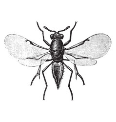 Parasitic wasp vintage vector