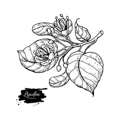 linden drawing set isolated lime tree vector image