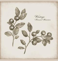 Botanical a sprig berries vector
