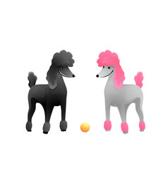 Royal poodle dog show white and black poodles vector