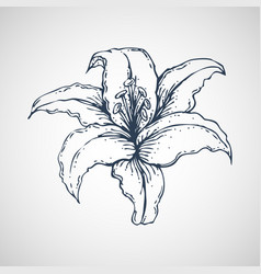 lilies hand drawn vector image