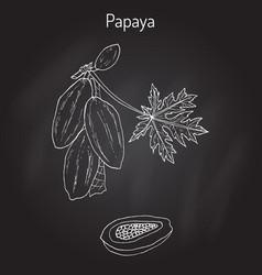 papaya carica papaya or papaw pawpaw tropical vector image
