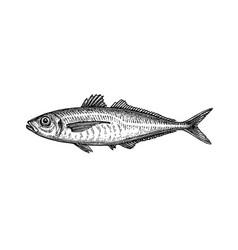 Ink sketch horse mackerel vector