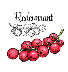 currant drawing icon vector image