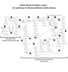 Chemical scheme of Hatch Slack Karpilov cycle vector image