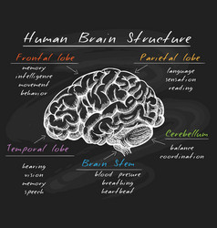 Biology human brain structure on chalkboard vector