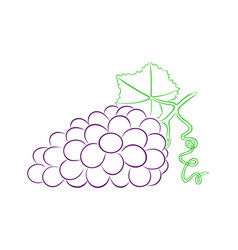 Bunch of ripe grapes vector