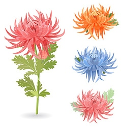 Collection of lovely chrysanthemums for your vector