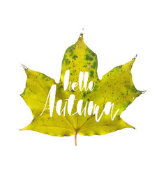 hello autumn greeting card with realistic maple vector image