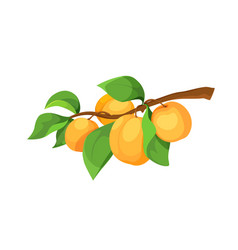 Ripe apricots on a branch icon vector
