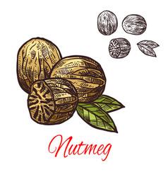 nutmeg seasoning nut spice sketch icon vector image