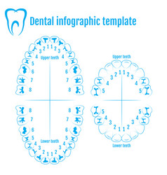 Orthodontist human tooth anatomy with numbering vector