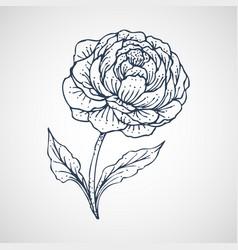 peony hand drawn vector image