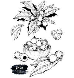 Hand drawn sketch of shea nuts plant berry fruit vector