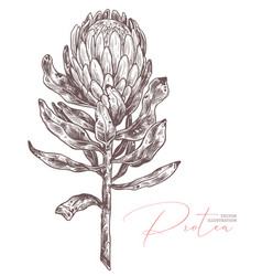 king protea sketch isolated vector image