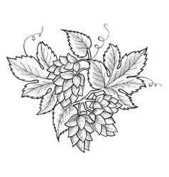 hops plant engraving vector image